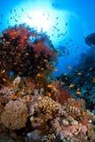 Coral suave Foto de archivo libre de regalías