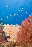Coral suave anaranjado vibrante en un filón tropical. Foto de archivo
