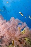 Coral suave anaranjado, zambullidor de equipo de submarinismo en fondo. Imagen de archivo