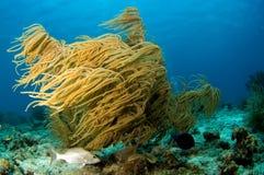 Coral suave del Caribe fotografía de archivo