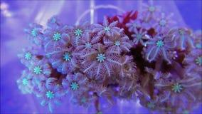 Coral suave del pólipo del clavo almacen de video