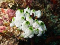 Coral suave en filón coralino maldivo imagenes de archivo