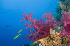 Coral suave rosado vibrante en un filón tropical. Foto de archivo