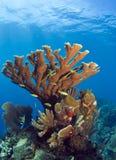 Coral subacuático del elkhorn del filón coralino Imagen de archivo