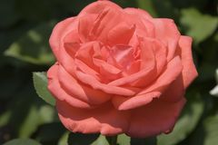 Coral Tea Rose Royalty Free Stock Images