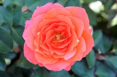 Coral tea rose Stock Images
