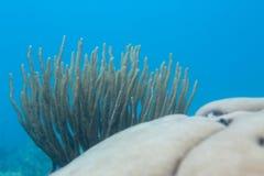 Coral Tendrils Royaltyfria Foton