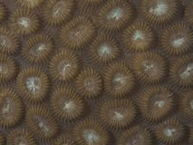 Coral texture Royalty Free Stock Photography
