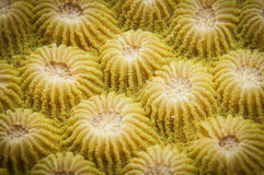 Coral texture Royalty Free Stock Image