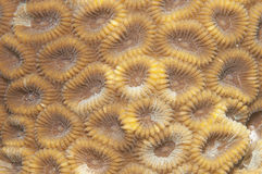 Coral texture Stock Images