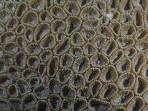 Coral texture. In Bohol sea Philippines Stock Photography