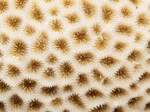 Coral texture Stock Photography