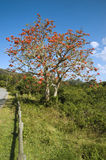 Coral Tree Royalty Free Stock Images