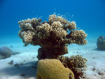 Coral Tree. A coral colony that looks like a tree royalty free stock image