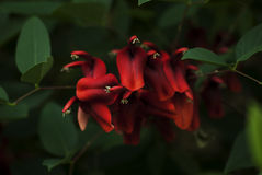 Coral Tree Bloom Stock Photography