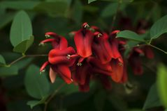 Coral Tree Blooms and Foliage. Red Coral Tree blooms in shadows of the green foliage of the tree Stock Photos