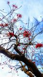 Coral tree. Strikingly representing the entrance to a Hillcrest hospital campus Royalty Free Stock Photography