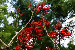 Coral Tree Erythrina Speciosa stock images