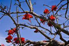 Coral Tree in Flower Royalty Free Stock Photo
