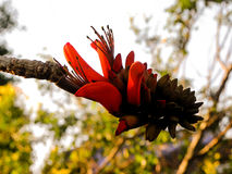 Coral Tree flower 2 Royalty Free Stock Image