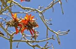 Coral tree flowers Stock Photography