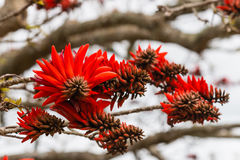 Coral tree flowers. Detail of coral tree flowers stock photo
