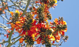 Coral tree flowers in early spring Royalty Free Stock Photography