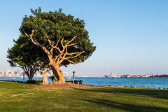 Coral Trees on Harbor Island with San Diego Bay Stock Photography
