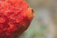 Coral tropical del tomate Fotos de archivo