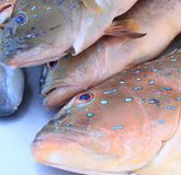 Coral Trout photo stock