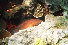 Coral Trout in red sea Royalty Free Stock Images