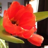 Coral Tulip Stock Image