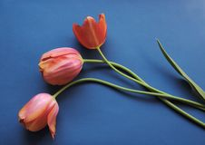 Coral tulips on blue Stock Photo