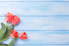 Coral tulips  on blue  painted wooden background. Royalty Free Stock Photo