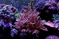Coral ultra cor-de-rosa do sps Imagem de Stock