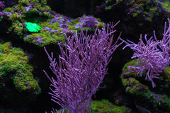 Coral under water. Beautiful coral under water. Lobophytum close up Stock Images
