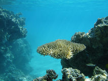 Coral Underwater. Coral at Honeymoon Island in the Aitutaki Reef Royalty Free Stock Images