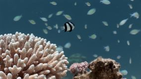 Coral underwater of Red sea. Bright marine nature on background of beautiful lagoon stock video
