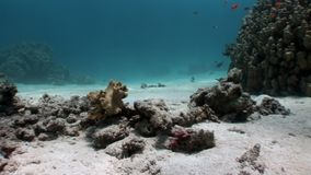 Coral underwater in Red sea. Bright marine nature on background of beautiful lagoon stock video footage