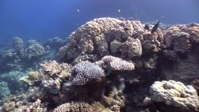 Coral underwater in Red sea. Bright marine nature on background of beautiful lagoon stock footage