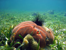 Coral and urchin. Massive starlet coral with urchin and sea aneome Stock Images