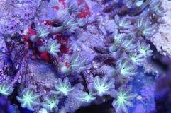 Coral verde do pólipo do cravo-da-índia Foto de Stock Royalty Free