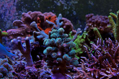 Coral verde do sps de Stylopora Fotografia de Stock Royalty Free