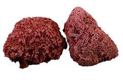 Coral vermelho fotografia de stock royalty free