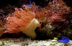 Coral vermelho da vida Foto de Stock Royalty Free
