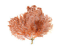 Coral vermelho do fã de Gorgonian ou de Mar Vermelho isolado no fundo branco Imagens de Stock