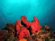 Coral vermelho no azul Fotos de Stock