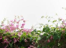 Coral Vine Imagem de Stock