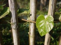 Coral vine or Antigonon leptopus on fence Stock Photography