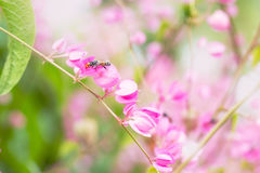 Coral vine or Antigonon leptopus hook flower with bee in the gar Stock Photography